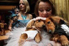 Wedding guests arrive for the most expensive pet wedding ever at the Jumeirah Essex House hotel for the nuptials between a rescue dog named 'Baby Hope Diamond' and a poodle named 'Chilly Pasternak' on July 12, 2012