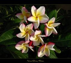 Roses - The Plumeria Vera Cruz Rose by mad plumerian, via Flickr