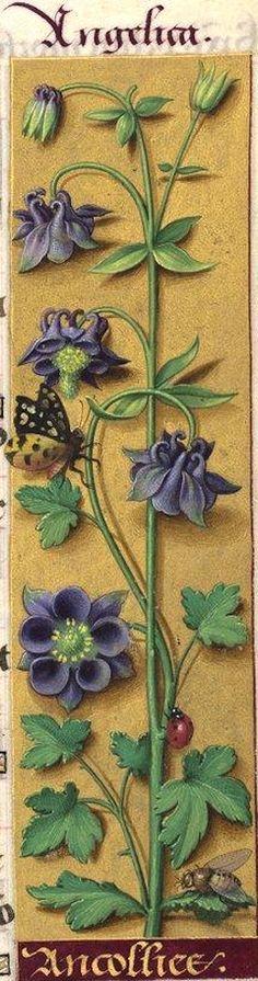 Ancollies - Angelica (Aquilegia vulgaris L. = ancolie commune à fleurs violacées) -- Grandes Heures d'Anne de Bretagne, BNF, Ms Latin 9474, 1503-1508, f°28r