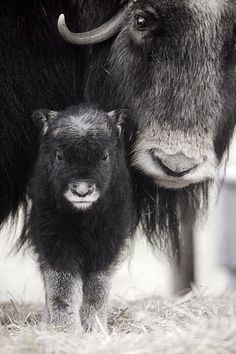 Closeup of Muskox Cow with Calf. Captive Alaska Wildlife Conservation Center SC Alaska Spring. Photo by Doug Lindstrand. Original in colour. °
