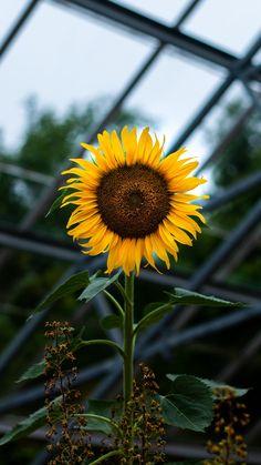 Sunflower wallpaper iphone x Sunflowers Background, Sunflowers And Daisies, Sunflower Garden, Sunflower Art, Sunflower Photography, Nature Photography, Yellow Photography, Tumblr Aesthetic Photography, Vincent Willem Van Gogh