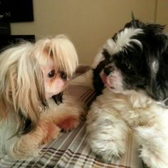 何か話してる? Talking?? Pepper and Luna #shihtzu#dog#family#philippines#シーズー#犬#フィリピン
