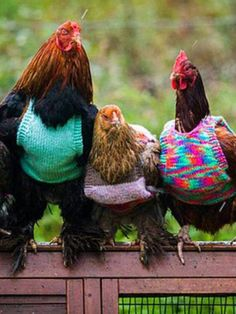 Chickens in sweaters.