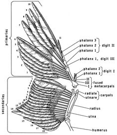 Remiges-wing- © University of Michigan, Museum of Zoology Wings Book, Bird Wings, Wing Anatomy, Raven Pictures, Wings Sketch, Flight Feathers, I Like Birds, Animal Anatomy, Feathers