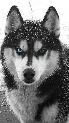 Beautiful sled dog photo!  0694fd29183ef2855aff45339c1a411b.jpg (420×746)