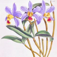 1882 Warner Fitch Orchid Cattleya Sororia Hand Colored | eBay