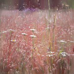 Кенозерье. Розовый луг Kenozero. Pink meadow 65×65. 2014