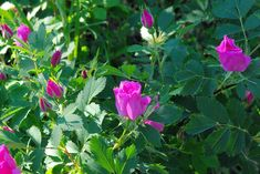 Free Image on Pixabay - Teton Wild Roses, Roses, Flowers Nature Plants, Green Nature, Free Pictures, Wyoming, Farmers, Royalty Free Images, Blossoms, Wild Flowers, Planting Flowers