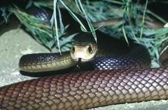 "#2. Most of the most deadly snakes in the world. ""Not only is this snake highly venomous, but it is the largest venomous snake found in Australia, with adults ranging in size from 6.5 to 12 feet in length. This snake also has the longest fangs of any venomous Australian snake; around 1/2 inch."