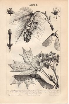 1893 Antique Botanical Print Maple Tree Ahorn Acer by Craftissimo, €11.95