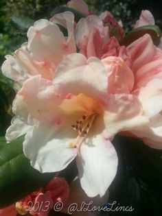 Peachy rhododendron
