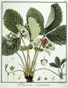 Strawberry (Fragaria virginiana) by Friedrich Guimpel, 1816. Etching, hand-coloured. From F.G. Hayne, BD. 4, Berlin, Slg. Archiv f, Kunst and History | ArtFlakes