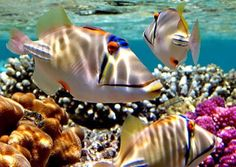 Humuhumunukunukuapua'a fish - State Fish of Hawaii
