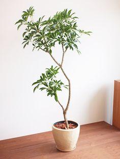 シェフレラ http://www.tree-tree.jp/?pid=71420440
