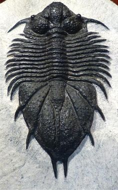 SpaceTime with Stuart Gary - amnhnyc:   It's time for Trilobite Tuesday! Some...