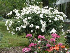 iceberg-bush Schneewittchen white rose Kordes