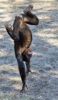 A playful Bonobo #GreatApeMoment via @Fran Holder UNEP (Photo Credit: Evan Animals)