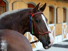 Bandolera, PRE Mare (Flaxen Chestnut with Rabicano), owned by Amerang Castle Stud