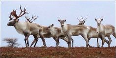 Petition: Please SIGN & SHARE!  Woodland caribou may be extinct before the year 2100 if the rate of range loss continues. Once found... (28898 signatures on petition)