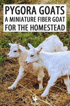 Pygora goats are amazing for their wool, but also for their meat. Find out why this amazing mini-goat breed is perfect for you. Pygora Goats, Mini Goats, Boer Goats, Feeding Goats, Raising Goats, Trimming Goat Hooves, Miniature Goats, Small Goat, Yarn Animals