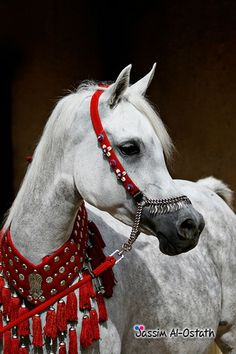 Arabian horse -the most elegant animal in the world in my opinion. They have the most beautifully shaped heads.