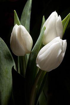 Trio of beautiful white tulips
