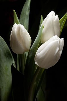 Trio | Flickr - Photo Sharing! Such a beautiful pic of white Tulips!   Aline ♥