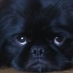 Peke...I love this picture.  Jazzy's little eyes is what drew me to pick him out of several other Pekes.