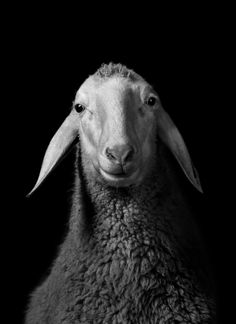 Walter Schels :: Schaf, 1984 (sheep portraiture)