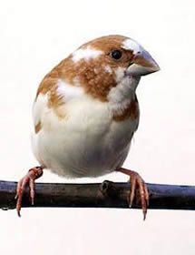 Society or Bengalese Finches – This type of finch is an easy going, laid back sort of bird. They do very well in captivity and have been known to be excellent foster parents to other, more rowdy finches.