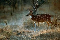 Axis Deer | THINKSTOCK Axis deer are becoming a problem in several locations ...