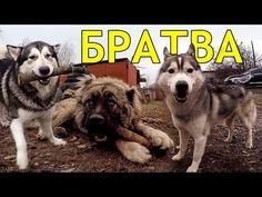 TOP | ТОП знаменитых Хаски Ютуба - YouTube Husky Mix, Feelings, Dogs, Youtube, Animals, Life, Animales, Animaux, Doggies