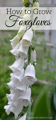 How to Grow Fabulous Foxgloves - FlowerPatchFarmhouse.com No cottage garden is complete without these stately easy to grow blooms. Pollinators love them and they bring graceful height to your early Summer Garden. They reseed readily and will fill your cottage garden with bounteous color!