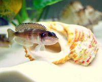 Lamprologus stappersi (pearly ocellatus)