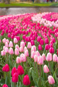 Keukenhof : World Festival Directory Pink Tulips, Tulips Flowers, Flowers Nature, Pretty Flowers, Spring Flowers, Purple Flowers Wallpaper, Beautiful Flowers Wallpapers, Flower Phone Wallpaper, Flower Show