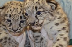 For just the second time ever snow leopard cubs have been born at the Akron Zoo. One male and one female cub were born on April 14, 2014.