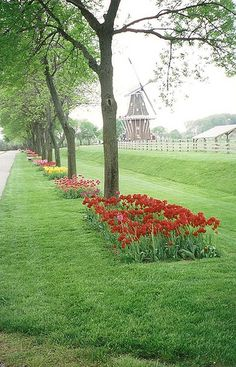 Tulips in Holland, MI