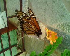 Achei essa borboleta já sem vida, e resolvi colá-la na planta.