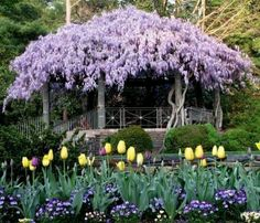 OOOh, maybe Wisteria would work for the back yard... I want to create a partial canopy over the back yard in the area of the small wrought iron fence and trees... ((pics of that area later))