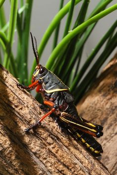 ˚Eastern Lubber Grasshopper it can be find in south Missouri and Florida and Tennessee or Alabama Mantis Religiosa, Insect Photography, A Bug's Life, Beautiful Bugs, Animal 2, Bugs And Insects, Animals And Pets, Creatures, Beetles