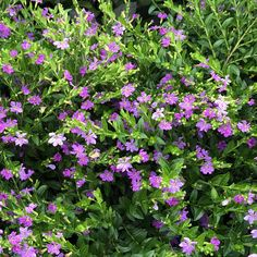 Garden Crossings Online Garden Center offers a large selection of Cuphea Plants. Shop our Online Annual catalog today. Container Plants, Container Gardening, Ferns Garden, Apple Brandy, Backyard Plants, Tree Care, Trees To Plant, Shrubs, Plants
