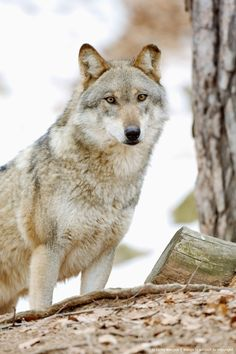 ☀Wolf (Canis lupus)