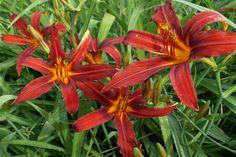 Daylily - лилейники