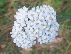 White Yarrow Seeds - Achillea millefolium Botanical Name:	Achillea millefolium Life Cycle:	Perennial Color:	White Bloom Season:	Summer Height:	12-36 Inches Light Requirement:	Full Sun Sowing Method:	Direct Sow Hardiness Zones:	All
