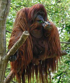 Orangutan - Wikipedia, the free encyclopedia