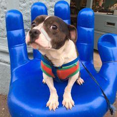 Glass Room, Boston Terrier, Pitbulls, Dogs, Animals, Animales, Boston Terriers, Pit Bulls, Animaux