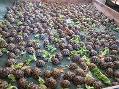 A few hundred Radiated Tortoises!