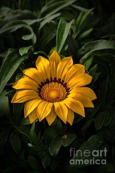 """Yellow Gazania"" by Robert Bales   http://fineartamerica.com/featured/yellow-gazania-robert-bales.html"