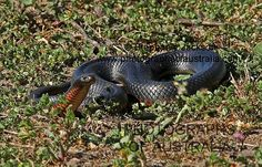 photo of Australian red bellied black snake
