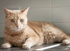 How to Keep Your Cat Off the CounterTry covering the area with double-sided tape or aluminum foil to make it texturally undesirable. Cat Pee Smell, Clumping Cat Litter, Havanese Puppies, Owning A Cat, Cat Behavior, Cat Facts, Pet Care, Cats And Kittens, Kitty Cats